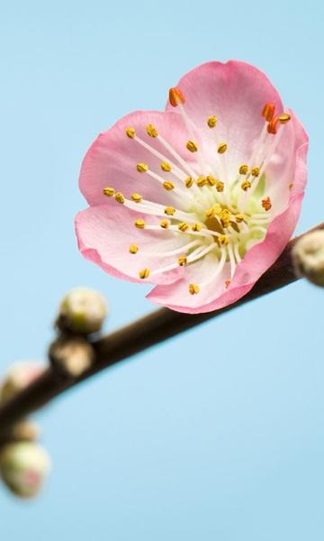 V3-753 Peach Blossom