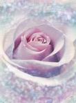 XXL2-020 Delicate Rose