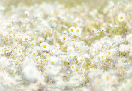 8-994 daisies
